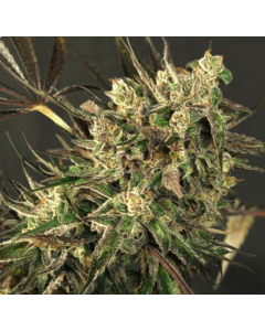 Exotic Seeds – Exotic Colours Marijuana Seeds