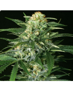 Exotic Seeds – Gipsy Widow Marijuana Seeds