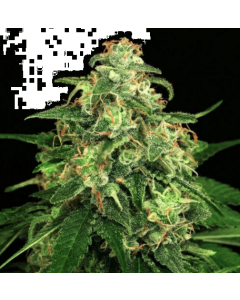 Exotic Seeds – Mango Cream Marijuana Seeds