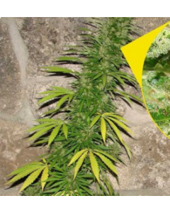 Flash Seeds – Annapurna Marijuana Seeds