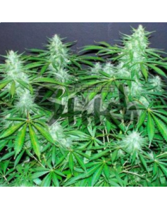 Flash Seeds – Bubble Hash Auto Marijuana Seeds