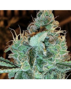 Gage Green Group – Aloha Grape Stomper Marijuana Seeds