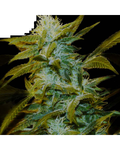 Genehtik Seeds – Super Silver Bilbo Cannabis Seeds