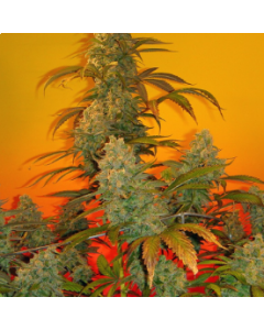 Mosca Seeds – Old Time Bubba Kush Marijuana Seeds