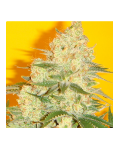Mosca Seeds – Blue Iguana Marijuana Seeds