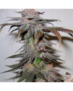 Grand Daddy Purp – Kendawg Marijuana Seeds