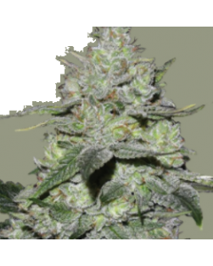 Bomb Seeds – Gorilla Bomb Cannabis Seeds