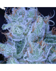 Archive Seeds – Designer OG Marijuana Seeds