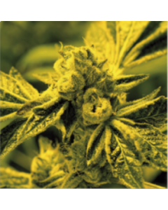 Blim Burn Seeds – Critical Daddy Purple Cannabis Seeds