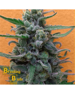 Breaking Buds – Brownie Auto Marijuana Seeds