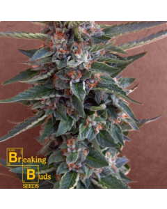 Breaking Buds – Chocolate Cookies Marijuana Seeds