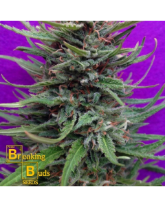 Breaking Buds – Cream Crystal Meth Marijuana Seeds