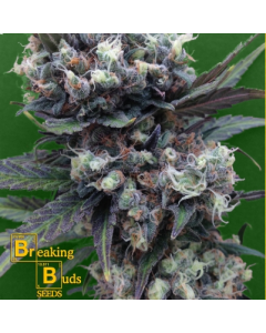 Breaking Buds – Malverde Marijuana Seeds