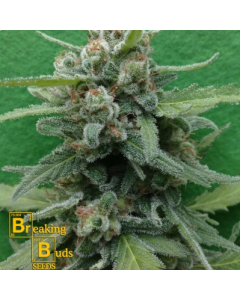 Breaking Buds – Soylent Green Auto Marijuana Seeds