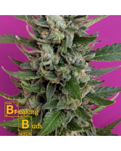 Breaking Buds – Strawberry Cream Marijuana Seeds