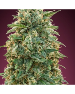 Advanced Seeds – Amnesia Marijuana Seeds