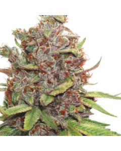 Dutch Passion – Auto Glueberry O.G Cannabis Seeds