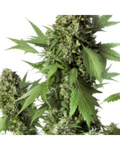 Dutch Passion – Auto Duck Cannabis Seeds