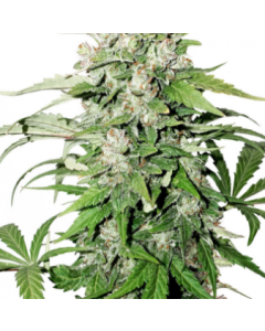 Dutch Passion – CBD Cinderella Jack Cannabis Seeds