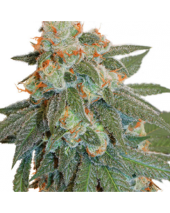 Dutch Passion – Auto Orange Bud Cannabis Seeds