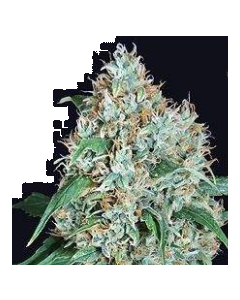 Pure Seeds – White Widow Marijuana Seeds