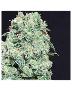 Pure Seeds – Viking Haze Marijuana Seeds