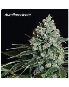 Pure Seeds – Speed Haze Marijuana Seeds