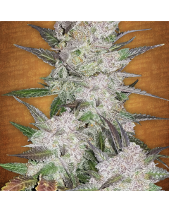 Fast Buds – Cream Cookies Cannabis Seeds