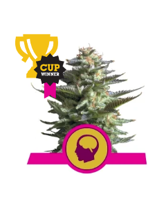 Royal Queen Seeds – Amnesia Haze Cannabis Seeds