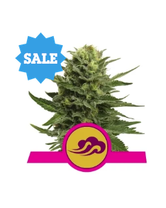 Royal Queen Seeds – Blue Mistic Cannabis Seeds