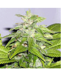 Sagarmatha Seeds – Early Riser Marijuana Seeds
