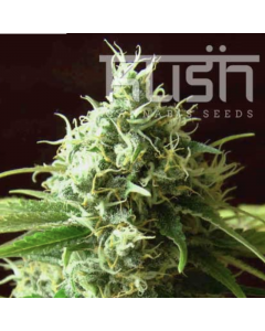Kush Seeds – Cheese Kush Marijuana Seeds