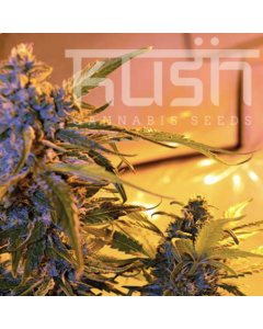 Kush Seeds – Critical Kush Auto Marijuana Seeds
