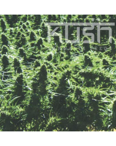 Kush Seeds – Sweet Kush Marijuana Seeds