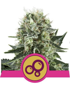 Royal Queen Seeds – Bubble Kush Cannabis Seeds