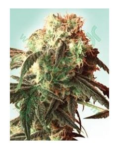 Helvetic Seeds – Stardust Marijuana Seeds