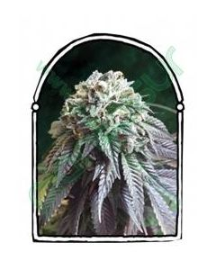 The Kush Brothers – The Dark Side Cannabis Seeds