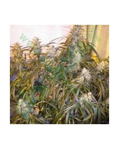 Makka Seeds Seeds – Super Auto Skunk Cannabis Seeds