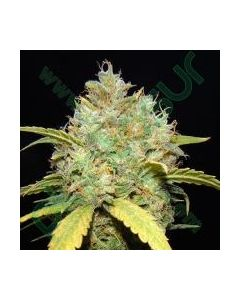 Makka Seeds Seeds – Critical Ganja Cannabis Seeds