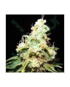 Makka Seeds Seeds – Wacky Widow Cannabis Seeds