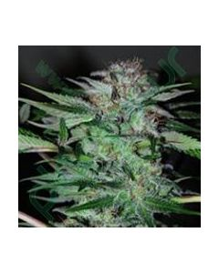 Professional Seeds – Northern Dwarf Automatic Cannabis Seeds