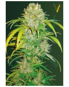 Victory Seeds – Auto Big Angel Cannabis Seeds