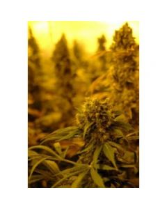Reggae Seeds – Session Marijuana Seeds