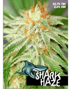 Pure Seeds – Shark Haze Marijuana Seeds