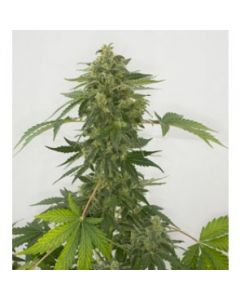 Green Label Seeds - Silver Haze Automatic