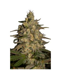 Seedmakers Seeds – Silver Jack Marijuana Seeds