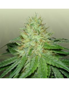 Royal Dutch Genetics Seeds – Six Shooter Cannabis Seeds