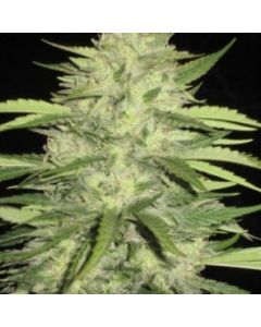 Loud Seeds – Skins Skunk Cannabis Seeds