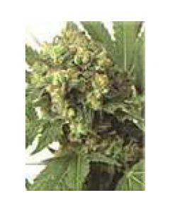 High Quality Seeds - Skunk 3 x A2