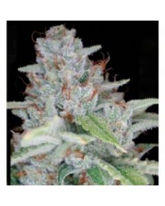 Reserva Privada - Skywalker Kush Cannabis Seeds